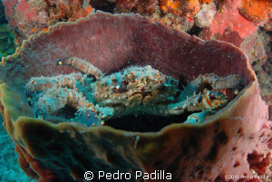 Crab in his Barrel Sponge, Nikon D80 with 15MM lens, Shoo... by Pedro Padilla 